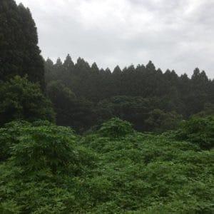Organic Tea Farm at Sky High Hill in Izumi, Kagoshima