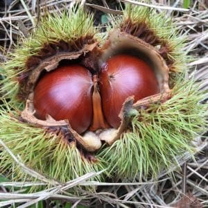 Good Chestnuts