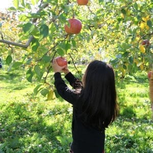 Aomori famous Apple picking