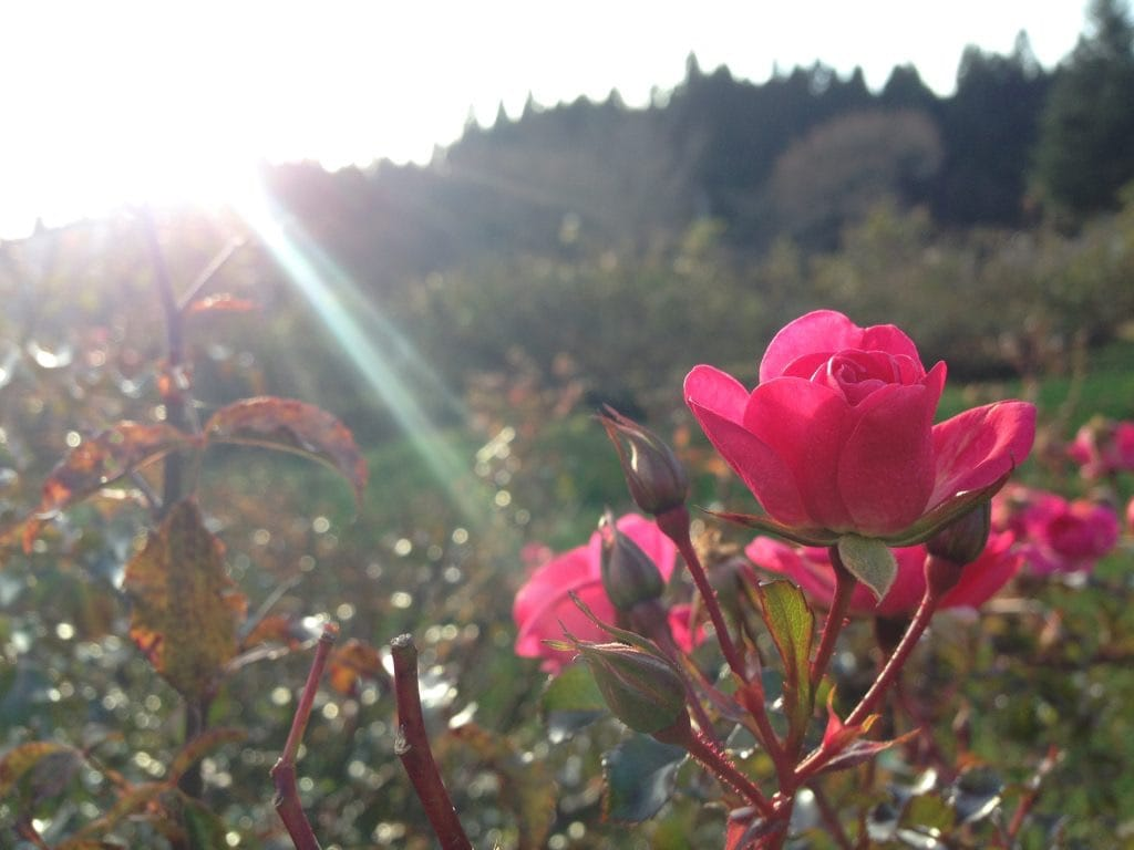Rose country in Higashi Hakkoda