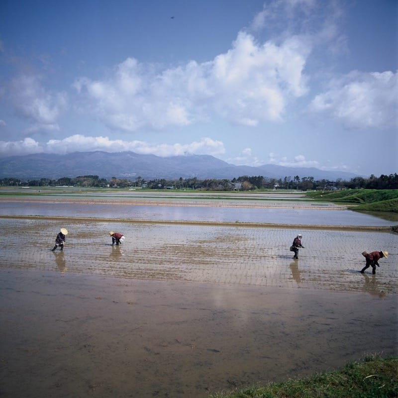 Rice planting at kuninaka rice field