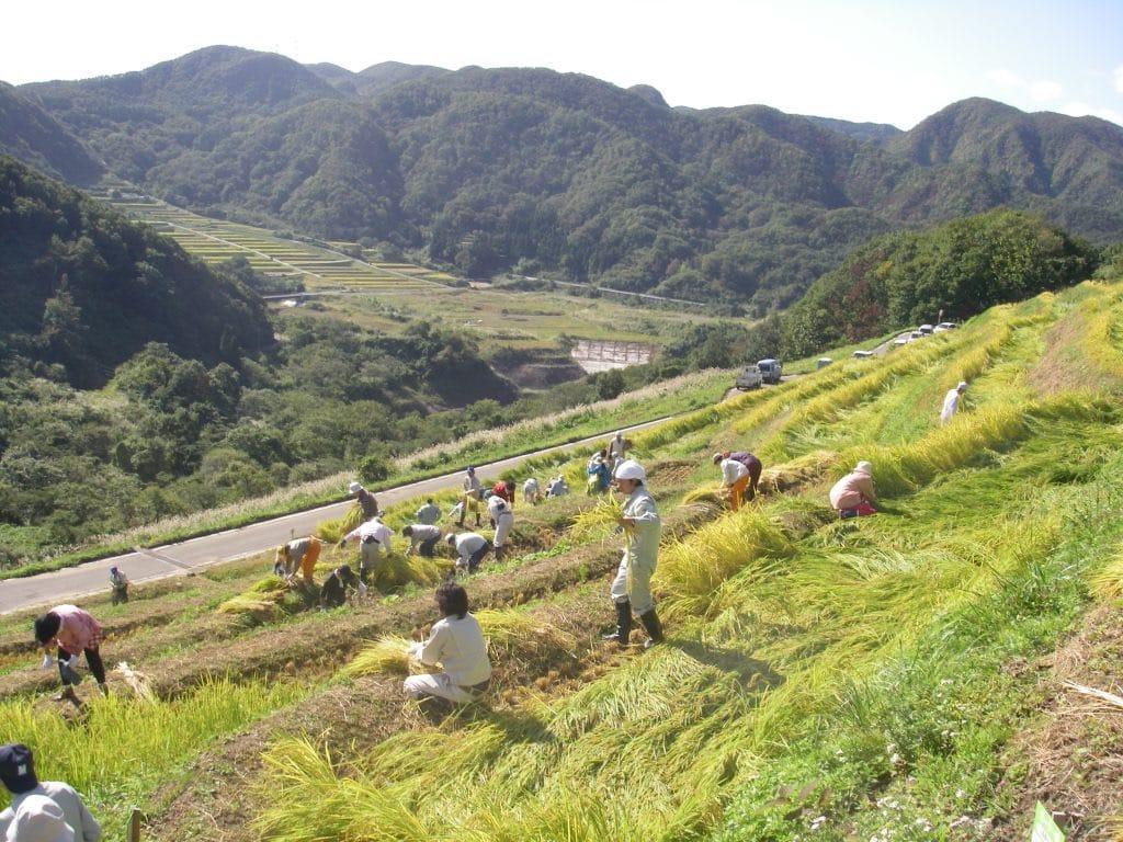 Rice Harvest in Terraced Rice Field in Sado Island